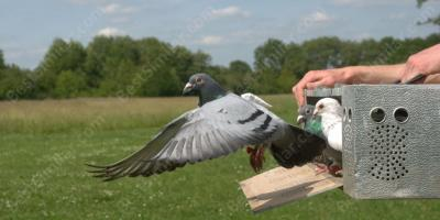carrier pigeon movies